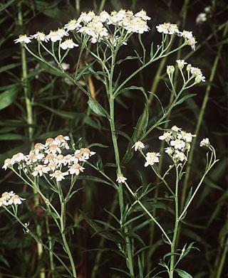 Achillea_salicifolia_Besser