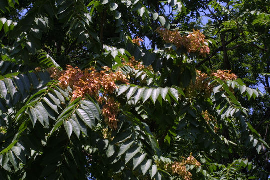 Ailanthus_altissima__Mill.__Swingle