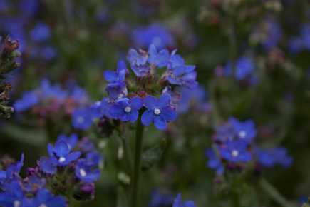 Anchusa_capensis_Thunb.
