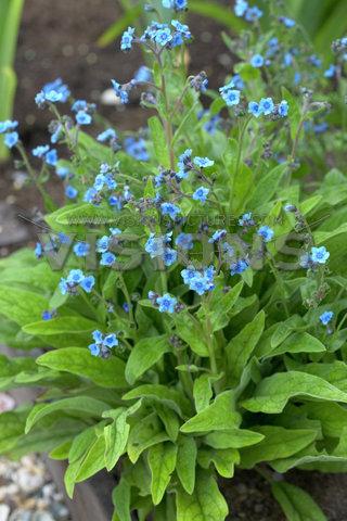 Anchusa_leptophylla