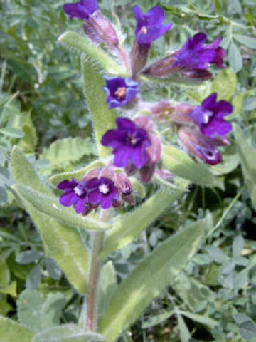 Anchusa_officinale