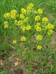 Barbarea_vulgaris