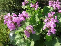Betonica_grandiflora