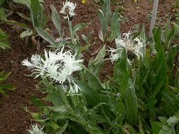 Centaurea_fischeri