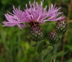 Chaber_czarniawy_Centaurea_nigrescens