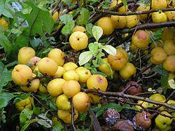 Chaenomeles_japonica_Lindl.