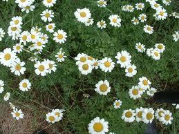 Chrysanthemum_cinerariaefolium
