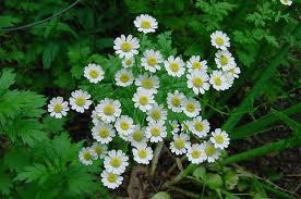 Chrysanthemum_parthenium_L