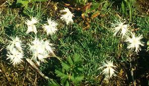 Dianthus_arenarius_L.