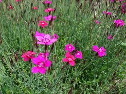 Dianthus_deltoides_L.