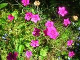 Dianthus_fruticosus_L.