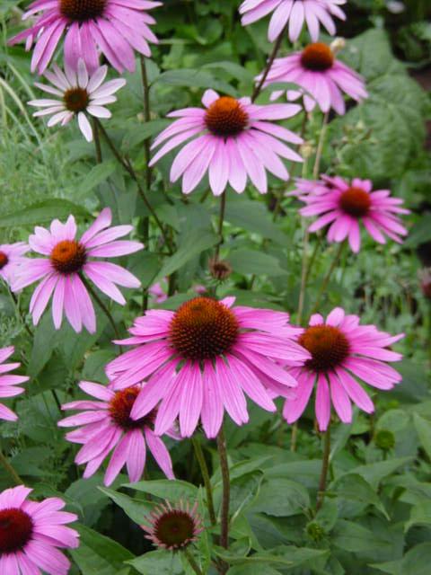 Echinacea_purpurea_M.