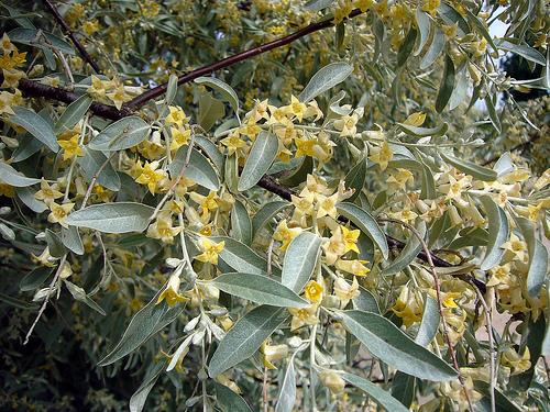 Elaeagnus_angustifolia_L.