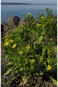 Grindelia integrifolia DC