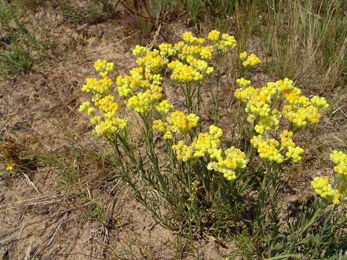 Helichrysum_arenarium__L.__Moench.