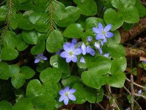 Hepatica_nobilis_Mill.