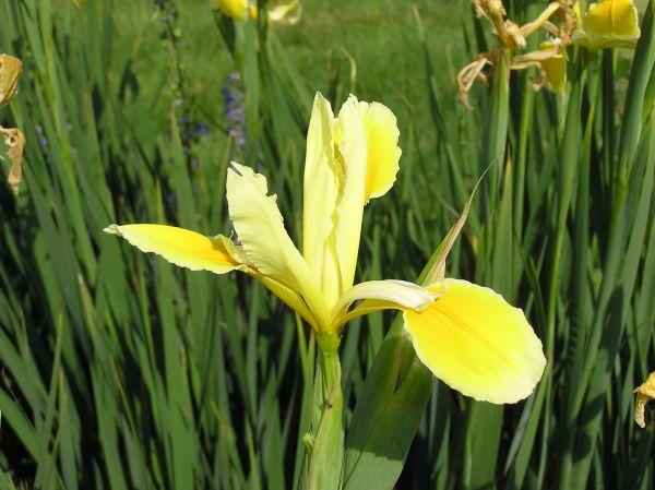 Iris_orientalis_P._Mill.