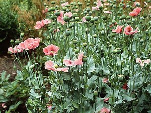 Papaver_somniferum_L.