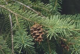 Picea_A._Dietr.