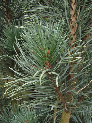 Pinus_silvestris