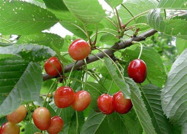 Prunus_avium__L.__Moench
