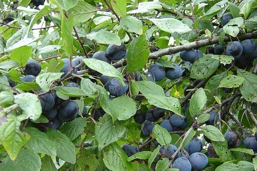 Prunus_domestica_L.