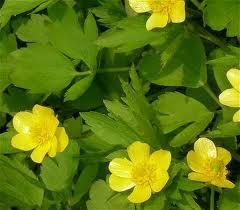 Ranunculus_repens_L.