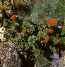 Rhodiola_linearifolia_Boriss.