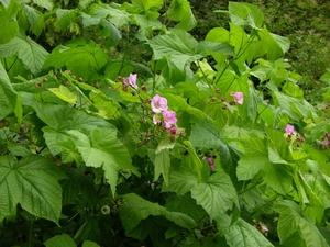 Rubus_odoratus_L.
