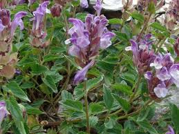 Scutellaria_alpina_L.