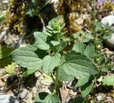 Scutellaria_rubicunda