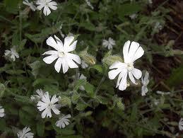 Silene_noctiflora_L