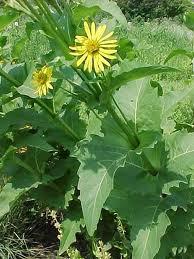 Silphium_perfoliatum