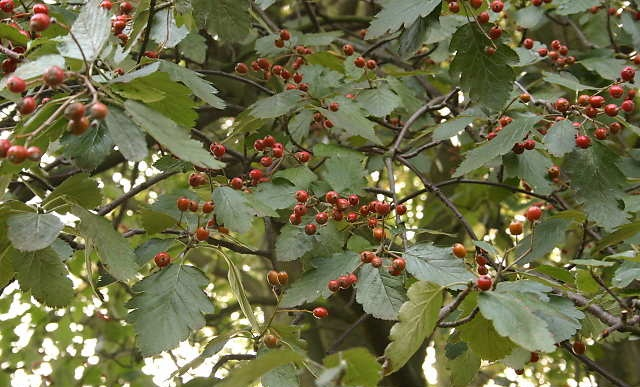 Sorbus intermedia Pers._1