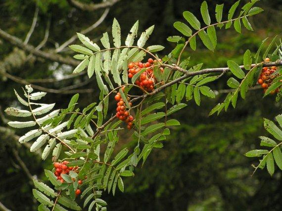 Sorbus_aucuparia_L.