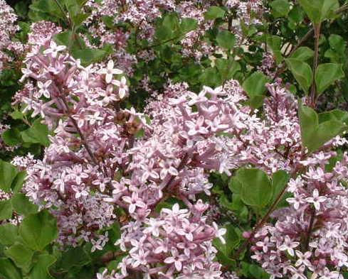 Syringa_vulgaris_L.