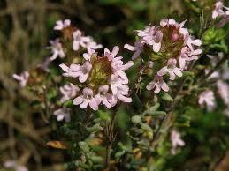 Thymus_vulgaris_L.