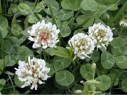 Trifolium_repens