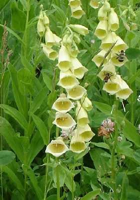 Digitalis_grandiflora_Mill.