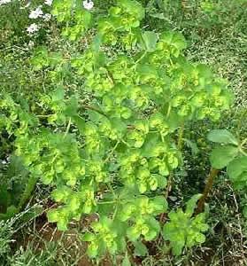 Euphorbia_helioscopia_L