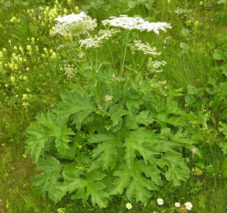 Heracleum sphondylium subsp. sphondylium