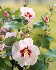 Hibiscus_syriacus_L