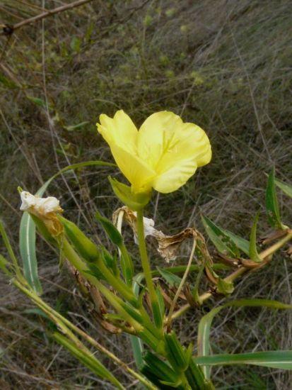 Oenothera suaveolens