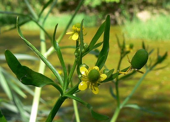 Ranunculus_scleratus_L.