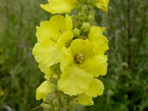 Verbascum_phlomoides_L